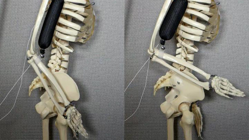 The artificial muscle moves a skeleton forearm by contracting (Credit: Aslan Miriyev/ Columbia Engineering)