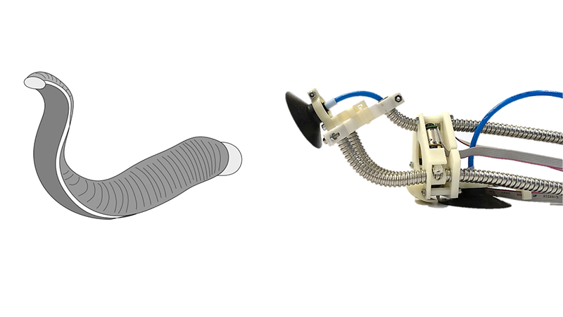 The Leech robot (right) uses similar properties and techniques to the creature (left) to climb structures (Credit: Toyohashi University of Technology)