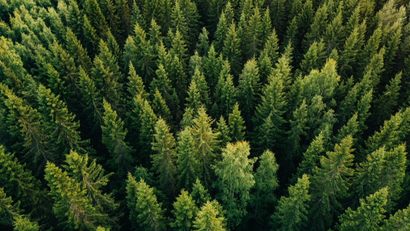 Wood from pine trees can be used to make biofuel pellets (Credit: Shutterstock)