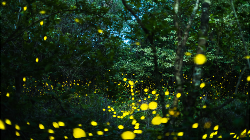 Stock image. The probe replicates the process that causes bioluminescence in fireflies (Credit: Shutterstock)